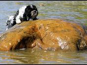 Dog climbing onto a rock