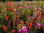 Mt Robson Wildflowers