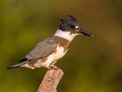 Belted Kingfisher in Last Light