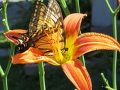 yellow butterfly on tiger lily