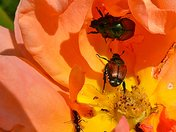 Three Bugs and an Ant in a Rose