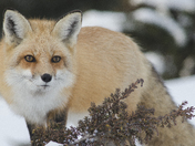 5c. Beautiful fox