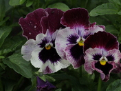 Pansy Triplets in the Rain