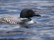 Lovely Loon