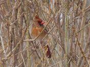 Female cardinal in the bush