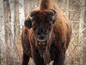 Wood Bison in Yellowknife, NWT