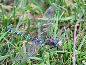 Dragonfly Nap