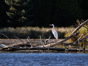 Great White Egret/Hespeler Mill Pond Cambridge On