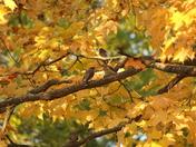Cedar waxwings in the fall