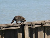 Racoon at the Beach!