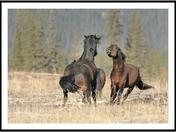 Alberta wild horses fight