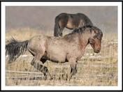 Alberta wild stallion on the run