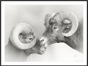 Two Ram portrait