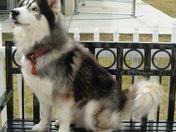 King the Husky