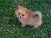 Molly 4 month old pomeranian