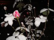 Snowy Rose Bush.JPG