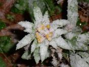 Snow covered blanket flower