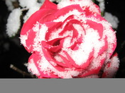 red snow rose