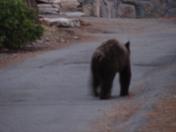 Bear in Lake Tahoe