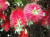 red bottle brush flowers