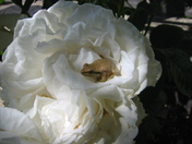 Frog on Maria Shriver rose.JPG