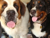 Saint Bernard & Bernese Mountain Dog