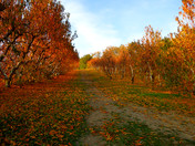 Stunning Fall Colors at Hooverville Orchards, Placerville
