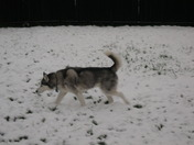 Snow dog in the snow