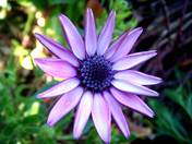 purple daisy 1.jpg