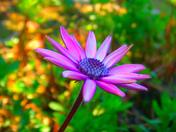 purple daisy 2.jpg