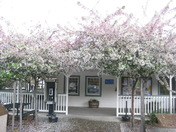 Crabapple Trees in Bloom at the Calaveras Visitors Center