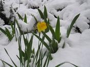 Poor daffodils!