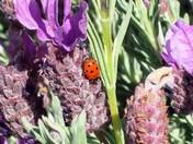 Lavender & Lady Bug