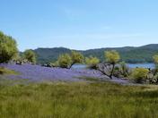 Folsom Lake Lupine Field