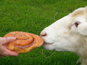 Donut eating sheep