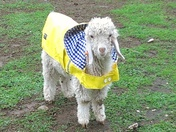 "So Cute, Rainy Day Baby Goat ""Belle's first raincoat"""