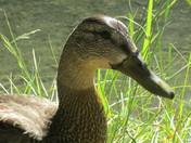 Fearless Duck