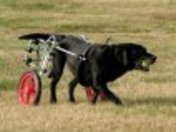 Butch in dog wheelchair by K-9Cart.com