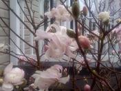 3-22-2010 Star Magnolia Blooms