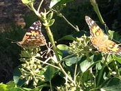 monarchs on our ivy