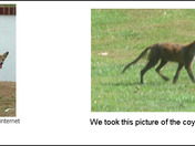 coyote spotted in northern Baltimore county