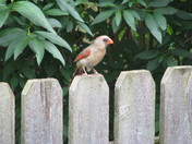 Mother Cardinal