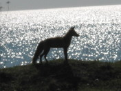 joes fox pics 002.jpg