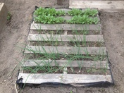 Pallet Garden with radishes and onions
