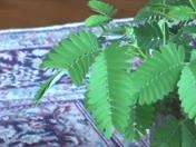 Pet TickleMe Plant