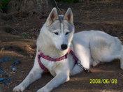 Maya, the husky