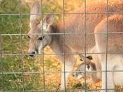 kangeroos
