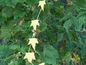Vine of Leaves