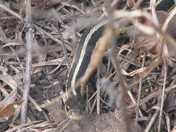 One of MANY Grass Snakes