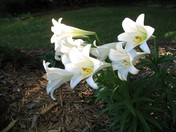 Easter lily came back